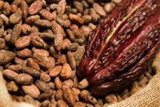 Petani Kakao Belum Mendapatkan Akses Pasar Yang Maksimal
